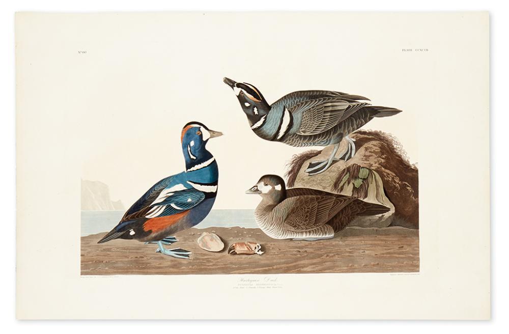 AUDUBON, JOHN JAMES. Harlequin Duck. Plate CCXCVII.