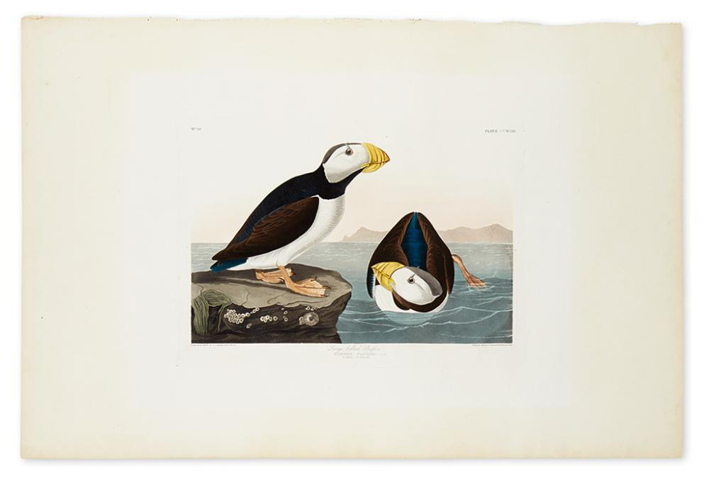 AUDUBON, JOHN JAMES. Large Billed Puffin. Plate CCXCIII.