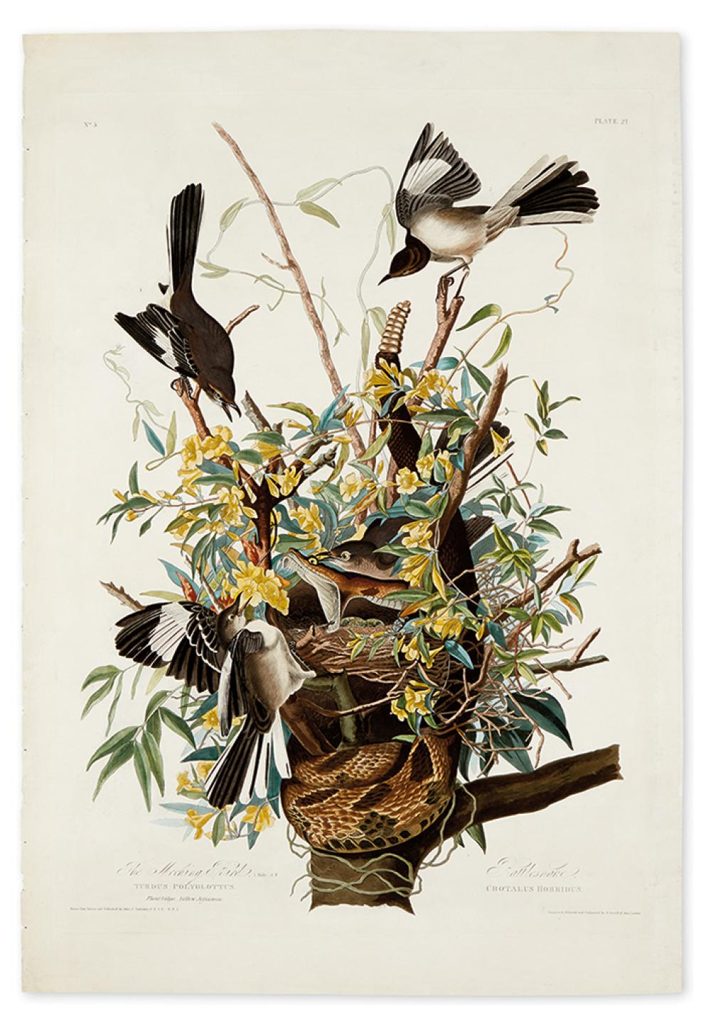 AUDUBON, JOHN JAMES. The Mocking Bird. Plate 21. [Variant 1.]