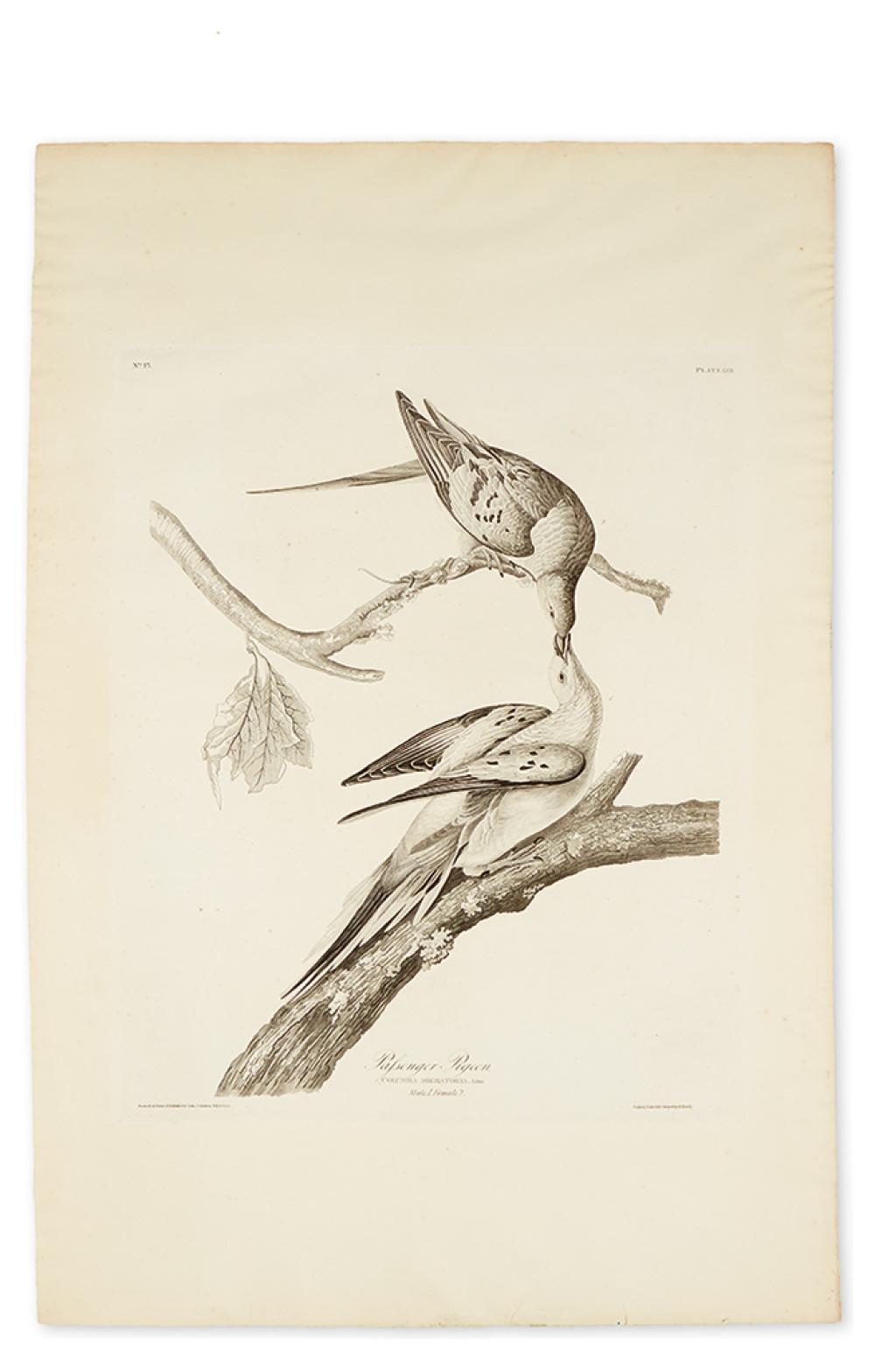 AUDUBON, JOHN JAMES. Passenger Pigeon. Plate LXII. [Variant 2.]