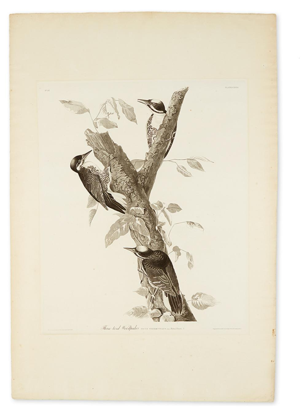 AUDUBON, JOHN JAMES. Three-Toed Woodpecker. Plate CXXXII.