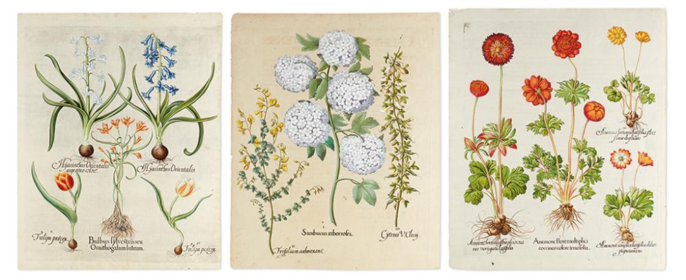 BESLER, BASILIUS. Tulipa praecox. Hyacinthus Orientalis... * Anemone flore multiplici... * Sambucus arborrosea...