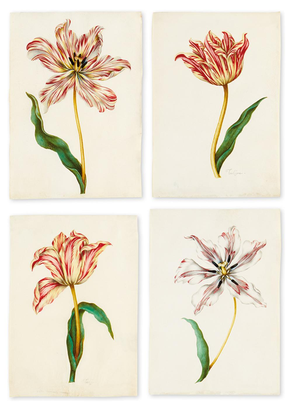 (BOTANICAL WATERCOLORS.) French School [possibly of Nicholas Robert]. Tulips.
