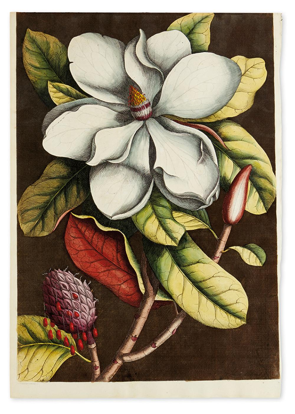 CATESBY, MARK; and EHRET, GEORG. Magnolia Grandiflora.