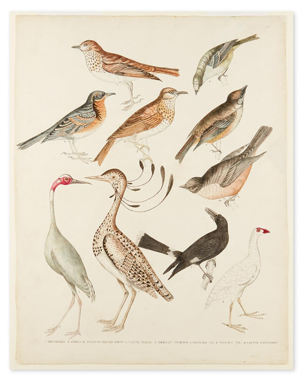 (ORNITHOLOGICAL WATERCOLOR.) Anonymous watercolor study of a demoiselle crane, curmoor, white fulica and various thrushes.