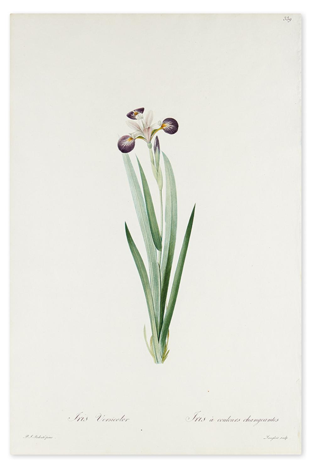 REDOUTÉ, PIERRE-JOSEPH. Iris Versicolor / Iris à couleurs changeantes [Purple Iris].