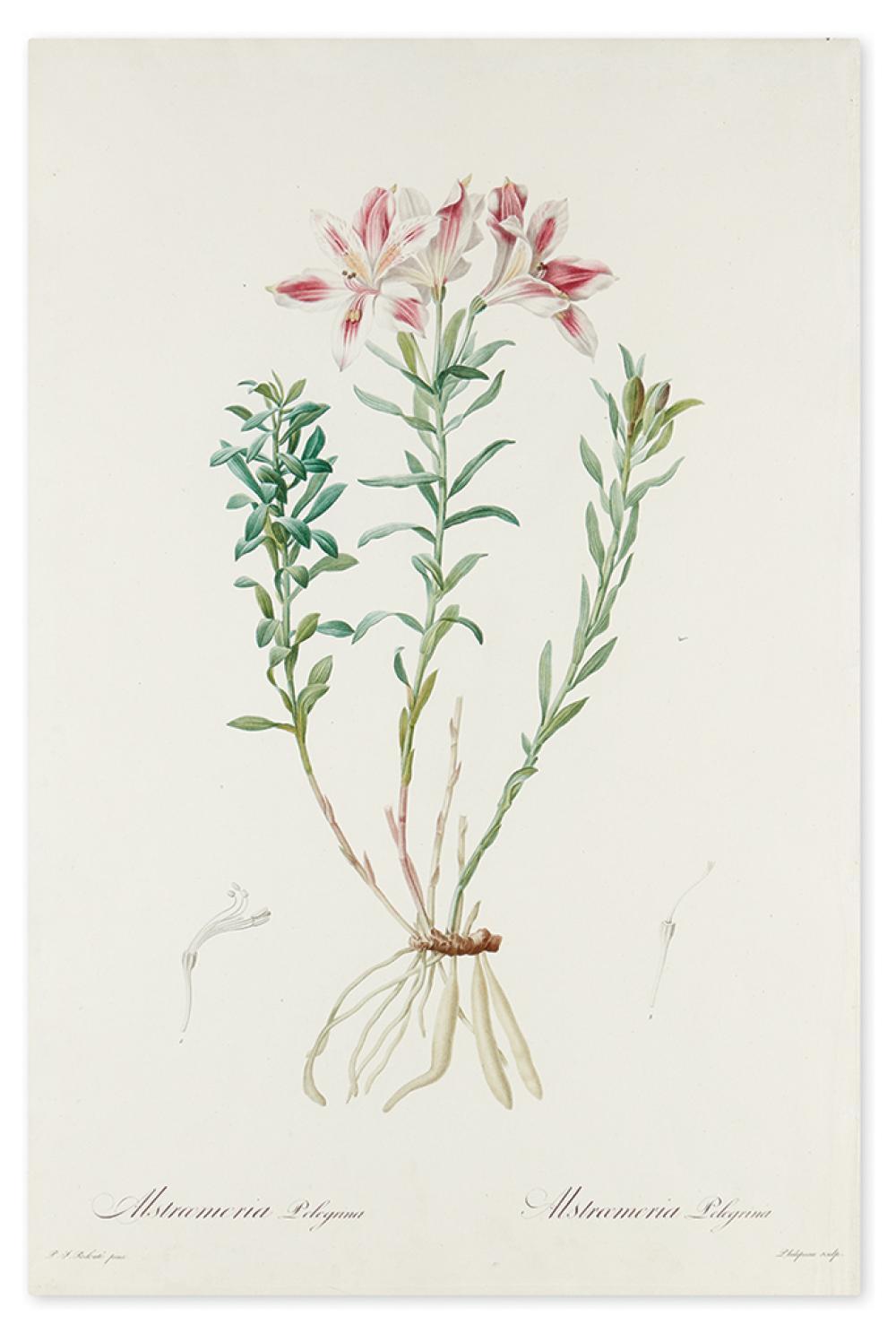 REDOUTÉ, PIERRE-JOSEPH. Alstroemeria Pelegrina [Pelegrinan Incan Lily].