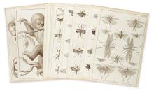 SEBA, ALBERTUS. Twelve single-page engraved plates featuring marsupials and insects,