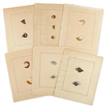 (SHELLS.) Thirteen fine watercolor drawings of conchological specimens.