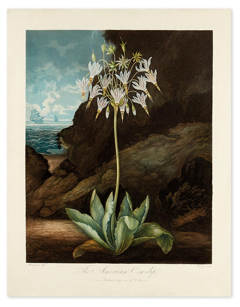 THORNTON, ROBERT JOHN. The American Cowslip.