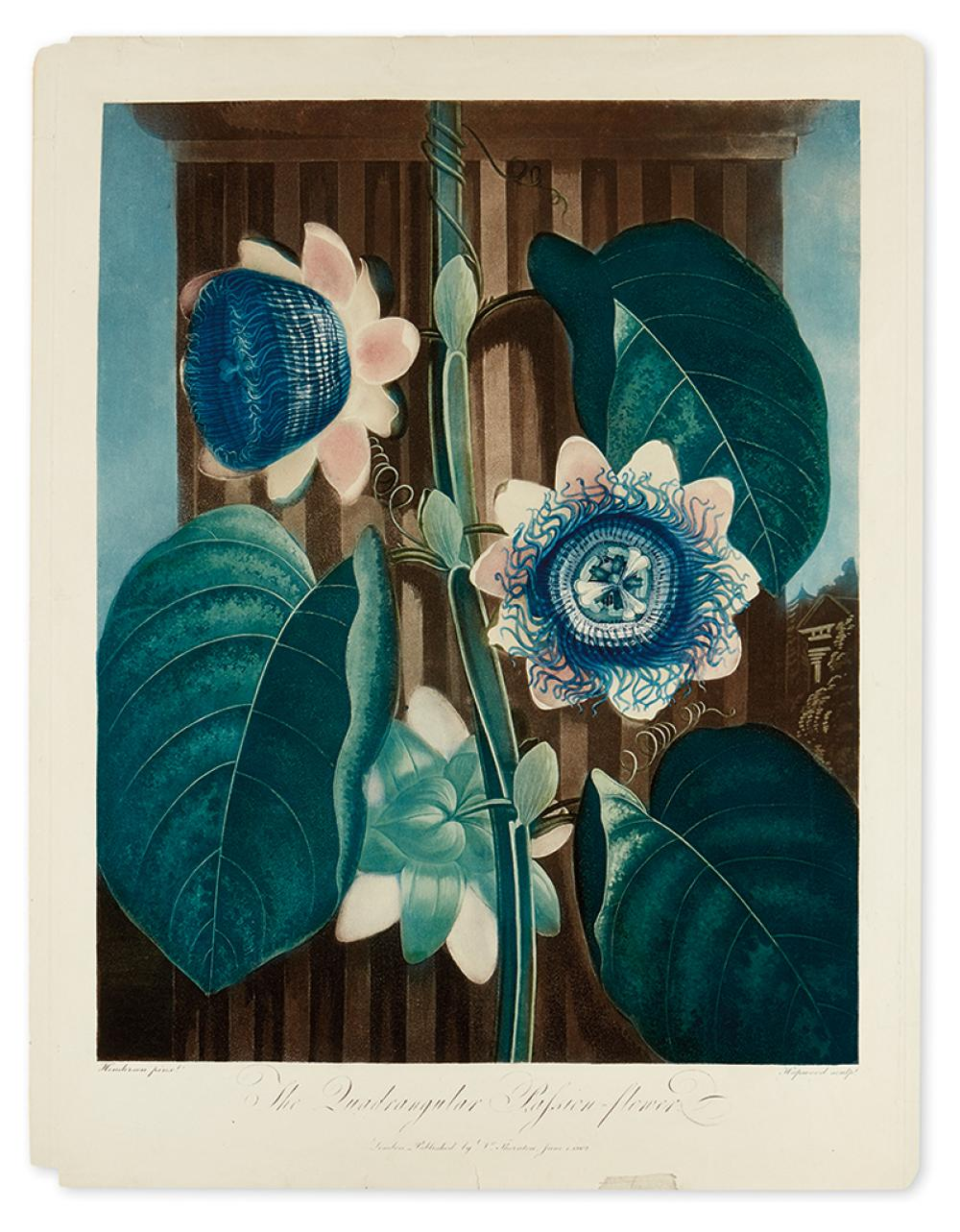 THORNTON, ROBERT JOHN. The Quadrangular Passion-Flower.
