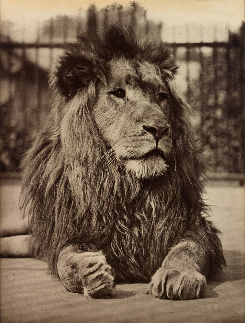 HENRY DIXON & SONS (1820-1893) The Lion.