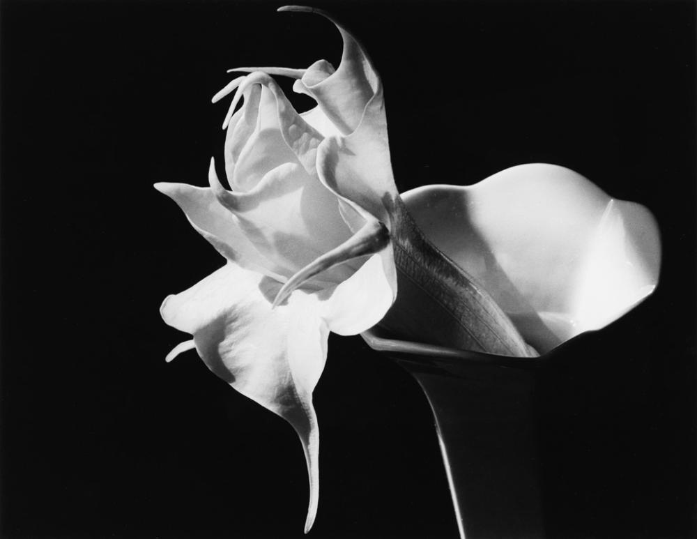 IMOGEN CUNNINGHAM (1883-1976) Datura.