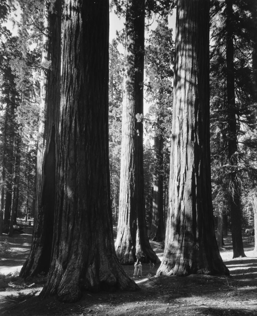 ANSEL ADAMS (1902-1984) Mariposa Grove.