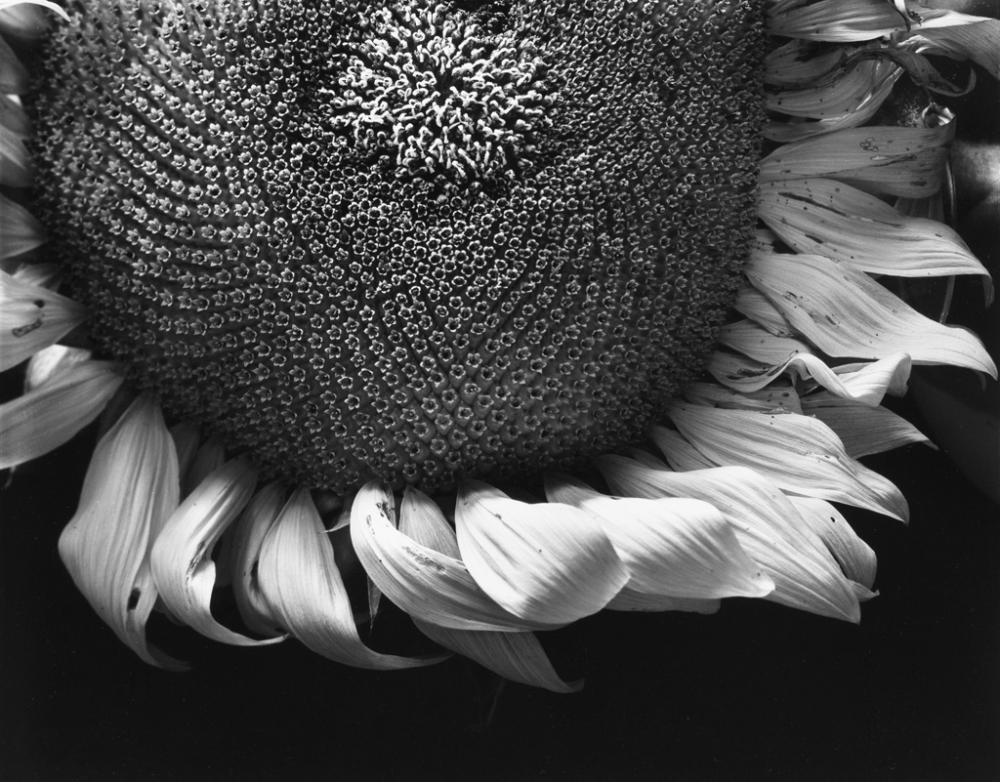PAUL CAPONIGRO (1932- ) Sunflower, Winthrop, Mass.