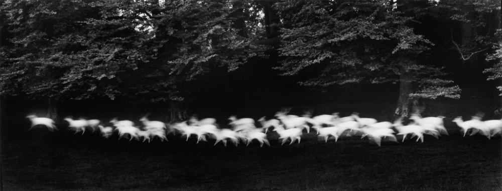 PAUL CAPONIGRO (1932- ) Running White Deer, County Wicklow, Ireland.
