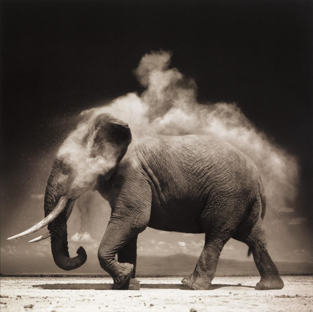 NICK BRANDT (1966- ) Elephant with Exploding Dust, Amboseli.