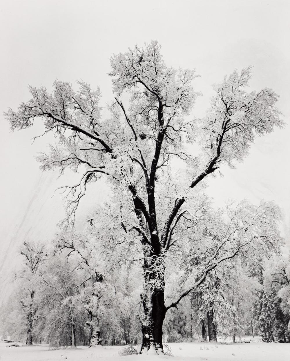 ANSEL ADAMS (1902-1984) Oaktree, Snowstorm.