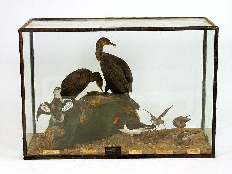A Seabird case by Rowland Ward, London, all glass