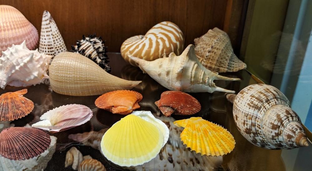 Lot 13A: Lot of Sea Shells
