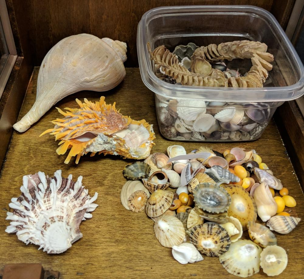 Lot 53A: Lot of Sea Shells