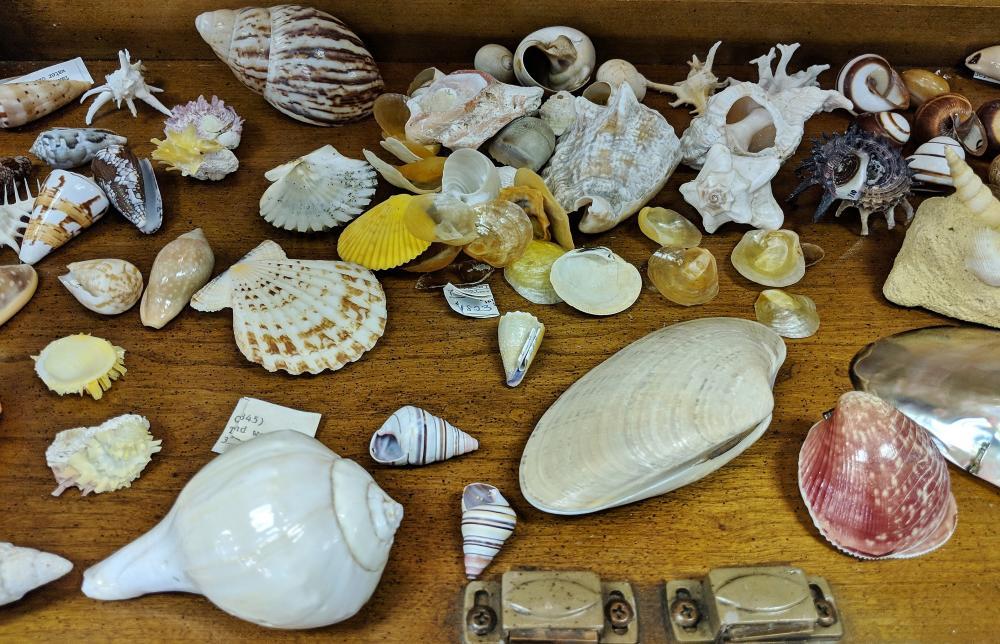 Lot 32A: Lot of Sea Shells
