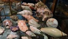 Lot 72A: Lot of Sea Shells