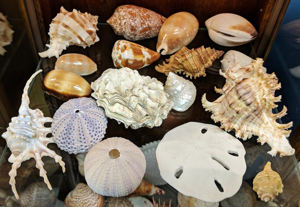 Lot 38A: Lot of Sea Shells