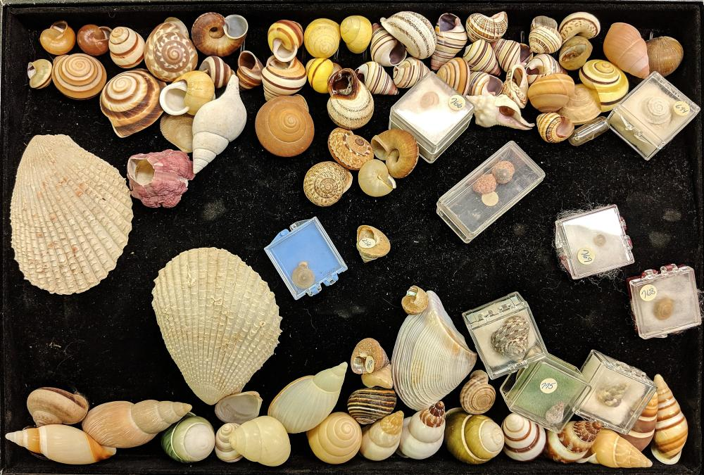 Lot 95A: Lot of Sea Shells