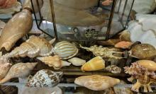 Lot 82A: Lot of Sea Shells