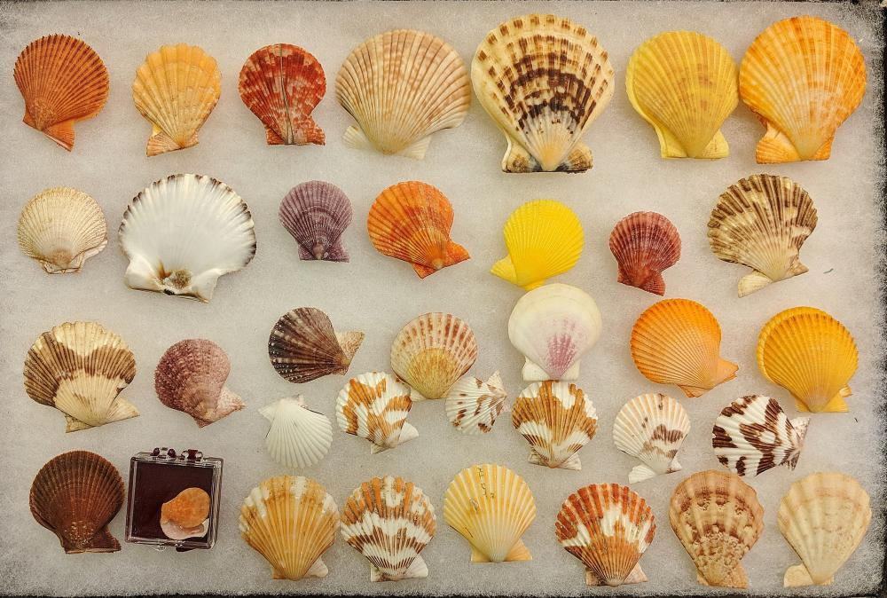 Lot 105A: Lot of Sea Shells