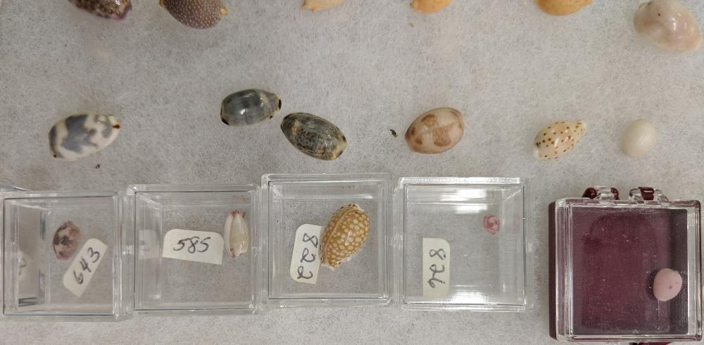 Lot 110A: Lot of Sea Shells