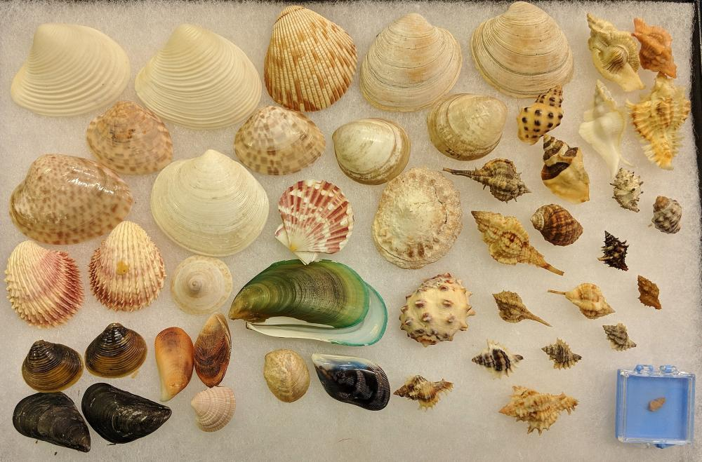 Lot 140A: Lot of Sea Shells