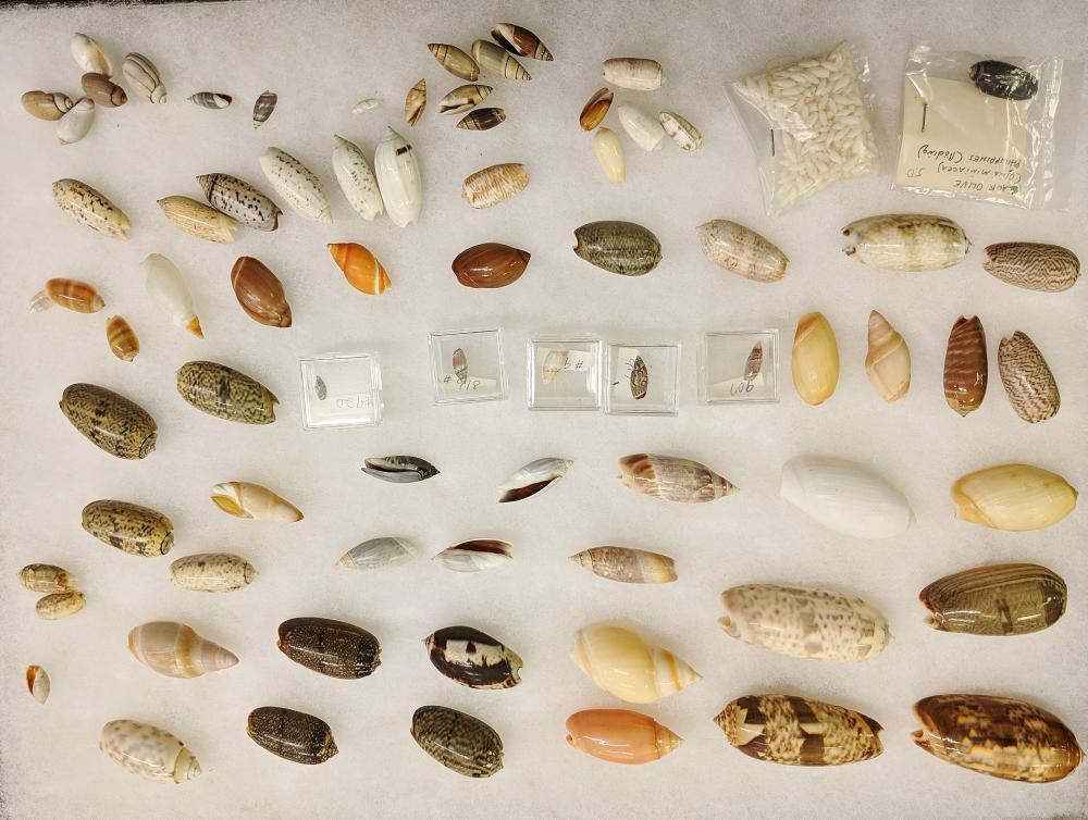 Lot 125A: Lot of Sea Shells