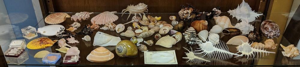 Lot 28A: Lot of Sea Shells