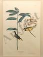 Aquatint John James Audubon Hooded Warbler