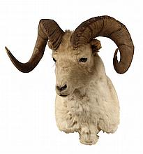 TAXIDERMY MOUNT - Dall Sheep Head Mount. Roughly 28