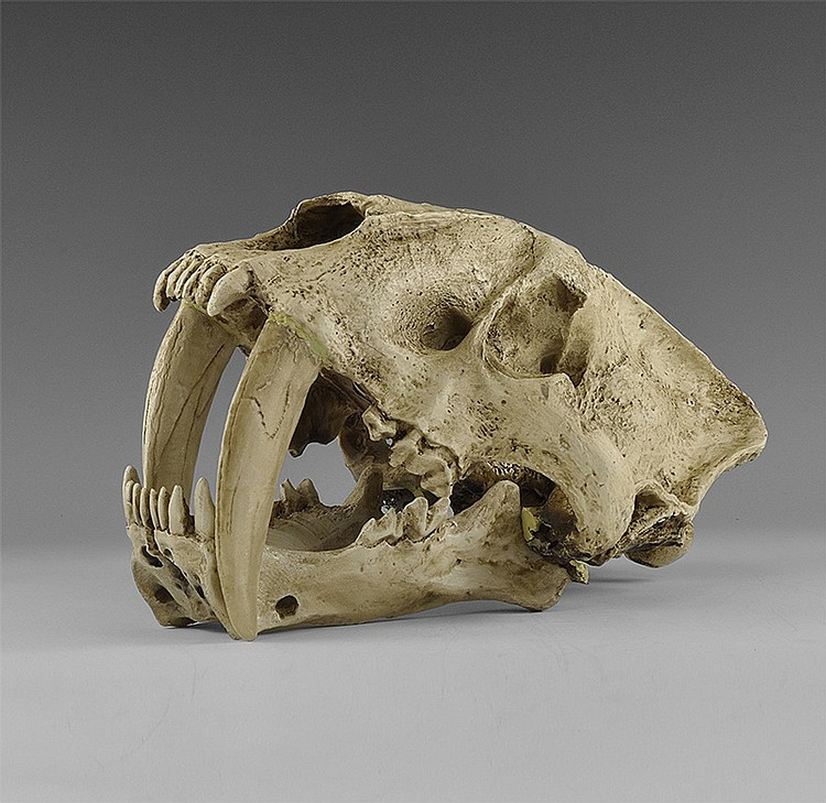Natural History - Saber Tooth Tiger Skull Museum Replica