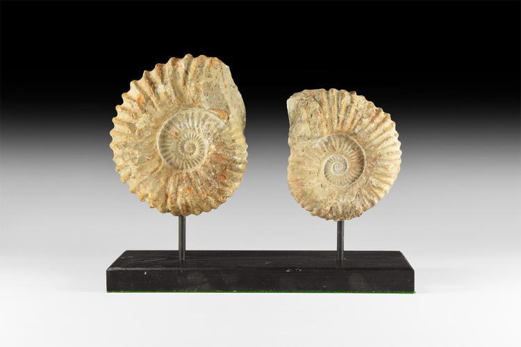 Natural History - Acanthoceras Fossil Ammonites
