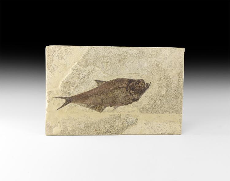 Natural History - Fossil Diplomystus Fish