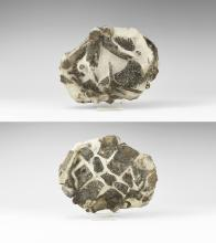 Natural History - Isle of Sheppey Fossil Turtle