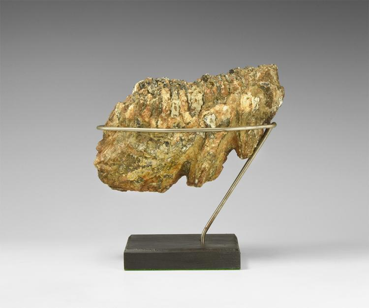 Natural History - Woolly Mammoth Fossil Tooth