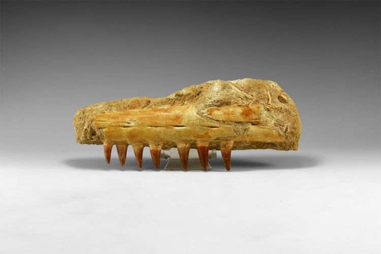 Natural History - Large Fossil Mosasaur Jaw