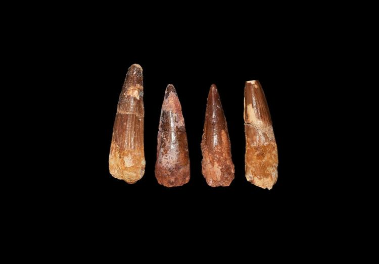 Natural History - Spinosaurus Dinosaur Tooth Group