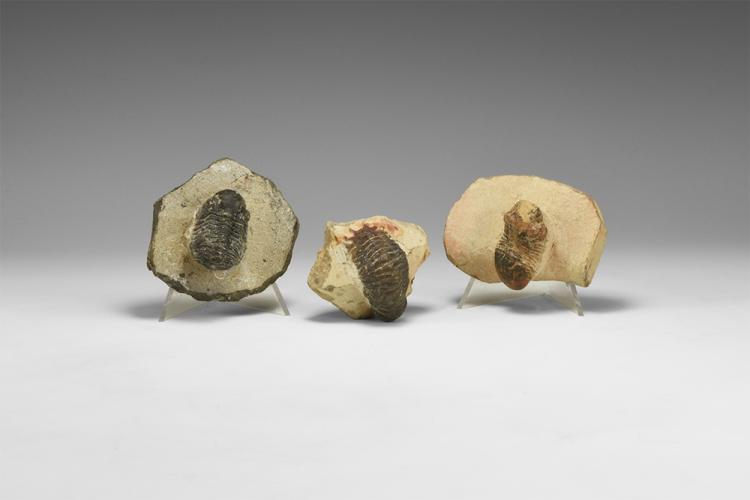 Natural History - Trilobite Fossil Specimen Group