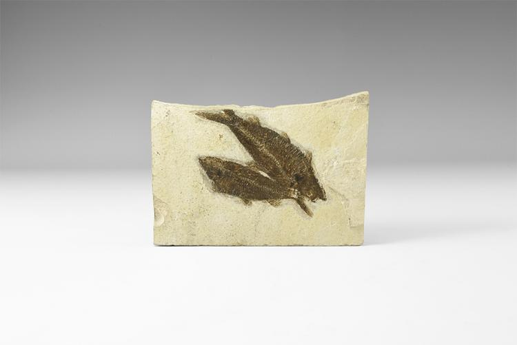 Natural History - Knightia Fossil Fish Pair