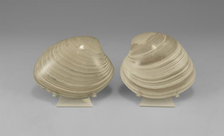 Natural History - Polished Mercenaria Fossil Bivalve Pair
