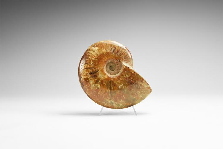 Natural History - Polished Cleoniceras Fossil Ammonite