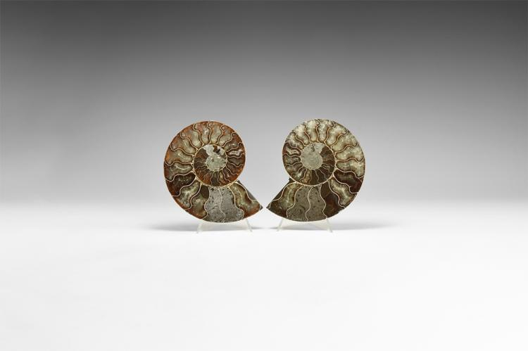 Natural History - Polished Fossil Ammonite