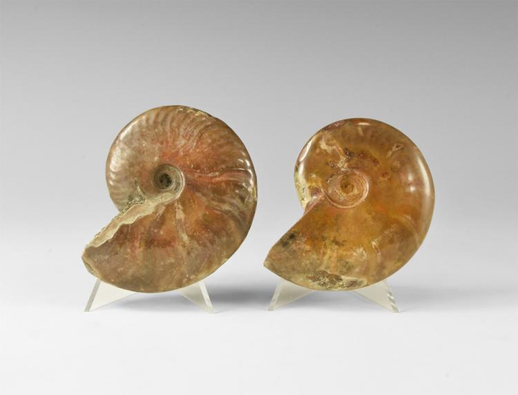 Natural History - Polished Fossil Ammonite Group